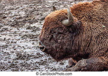 Wisent or European bison - Wisent Bison bonasus in captivity...