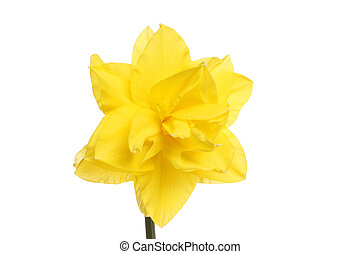 Narciso fiore immagini e archivi narciso for Narciso giallo