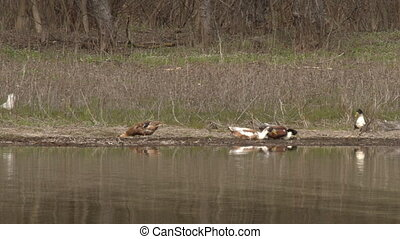 Wild ducks on the riverside - Flock of wild ducks on the...
