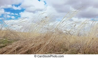 dry grass sways in the wind nature landscape movement - dry...