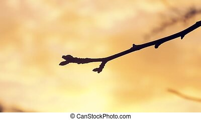 large macro branch landscape bud pear silhouette sunset...