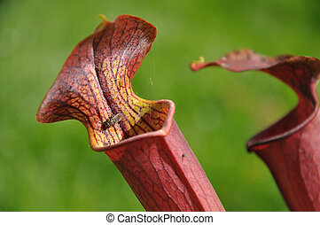 Purple blowfly eater - Purple sarracenia flower -...
