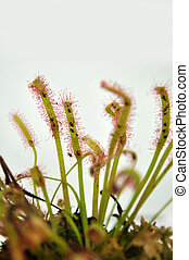 sticky sundew - Sticky leaves on a sundew plant -...
