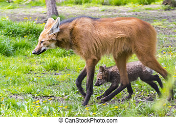 Maned wolf puppy - Maned wolf Chrysocyon brachyurus puppy...