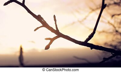 large macro branch bud pear landscape silhouette sunset...