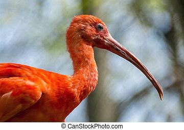 Scarlet ibis (Eudocimus ruber) - South American Scarlet ibis...