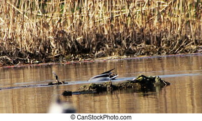 Duck Swims and Dives in the River - Duck swims and dives in...