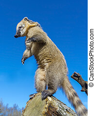 South-American coati (Nasua nasua) gymnastic on a tree log