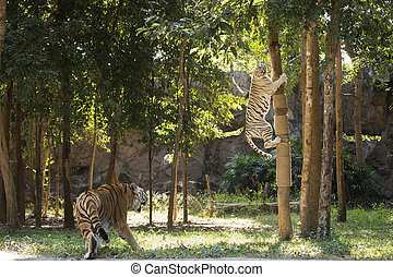 White tiger take jumping to the tree