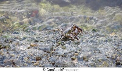Crayfish eating minerals on rocks - Crayfish eating...