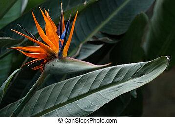 Strellizia reginae flower - Blooming strellizia reginae...