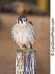 Falco sparverius - The American Kestrel Falco sparverius,...