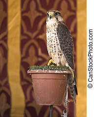 Falco sparverius - It is a falcon with a wingspan of 95–105...