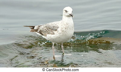 Seagull standing on a Stone in the Sea. - Seagull standing...