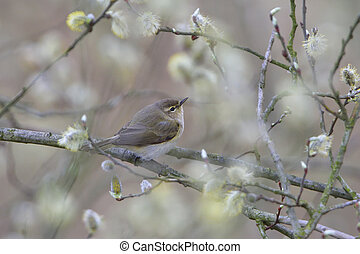 Common chiffchaff when looking for food on a willow