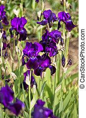 Purple Iris in Kitchen garden in Audley - Purple Iris in the...