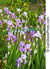 Violet Iris in Kitchen garden in Audley - Violet Iris in the...