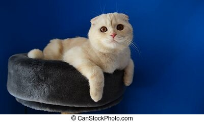 Scottish Fold kitten lying on  couch