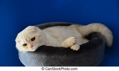 Scottish Fold kitten lying on couch - Scottish Fold kitten...
