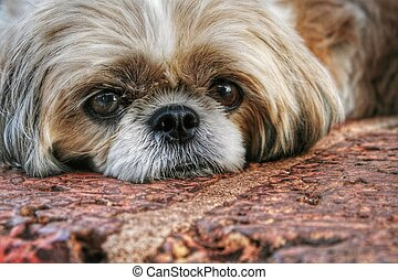 Shihtzu lying down on cobblestones