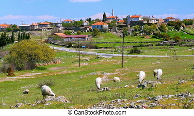 quot;sheep grazing in village on green grass, assos,...