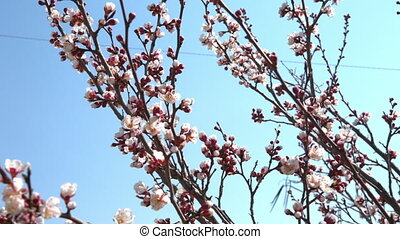 Spring cherry flowers, white flowers and buds, close-up shot