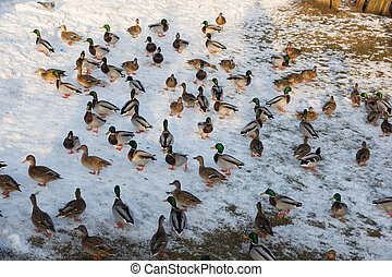 Mallard ducks in the winter pond