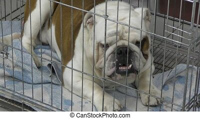 Dog breed English Bulldog reliable friend