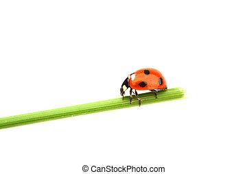 ladybug on grass isolated on white background