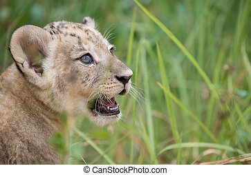 cub of lion - baby lion head shot among dense grasses