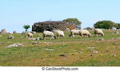 """sheep grazing in village on green grass, assos, canakkale,..."
