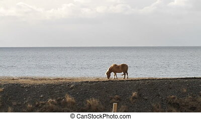 Icelandic horse by the sea - An Icelandic horse grasses by...
