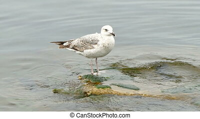 Seagull standing on a Stone in the Sea