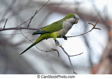 Quaker parrot in edgewater - Quaker parrot is nesting in...