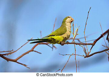 quaker parrot - Quaker parrot is nesting in Edgewater in NJ