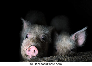Two Young Pigs in the Pen - Two curiouse young pigs are...