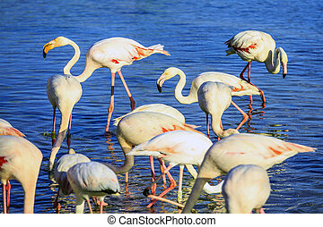 Pack of pink flamingos look for a forage - Sunset in...