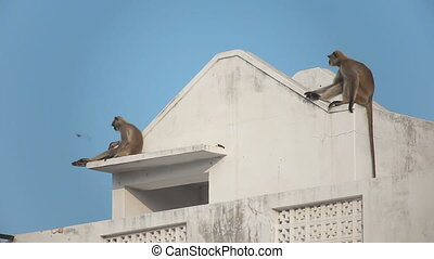 Two gray langur (Semnopithecus dussumieri) invade a rooftop in Pushkar city