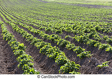 potato field close-up - an agricultural field on which grows...
