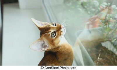 Abissynian kitten hunts - Abyssinian kitten on a window sill...