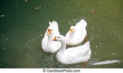 Geese swim in the lake HD