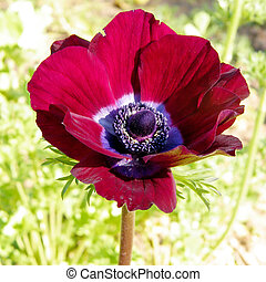 Ramat Gan Park red Crown Anemone flower 2011 - Red Crown...