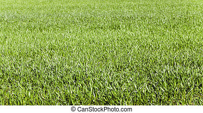 wheat germ , field - photographed close-up of green wheat...