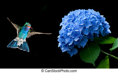 Hummingbird Hovering on Hydrangea over black background -...