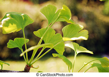 Ginkgo biloba - Close-up on ginkgo biloba tree leaves in...