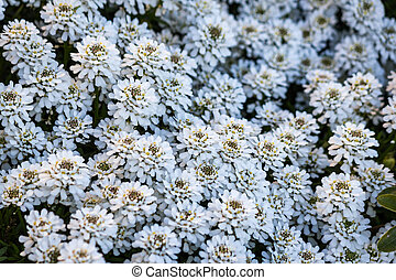 Iberis sempervirens Snowflake flowers - A lot of Iberis...