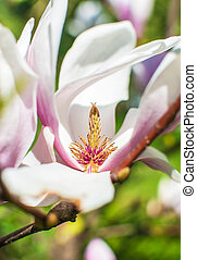 Magnolia. Beautiful purple and white flowers blooming in the...