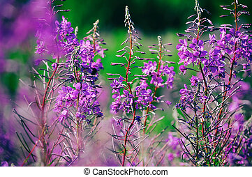 Blooming Willow-herb meadow. Chamerion Angustifolium,...