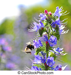 Bumblebee pollinating purple Viper's Bugloss flowers....