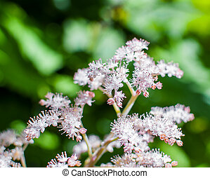 White and pink flowers of Spiraea Japonica Meadowsweet. Selective focus